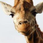 A Message from Giraffe